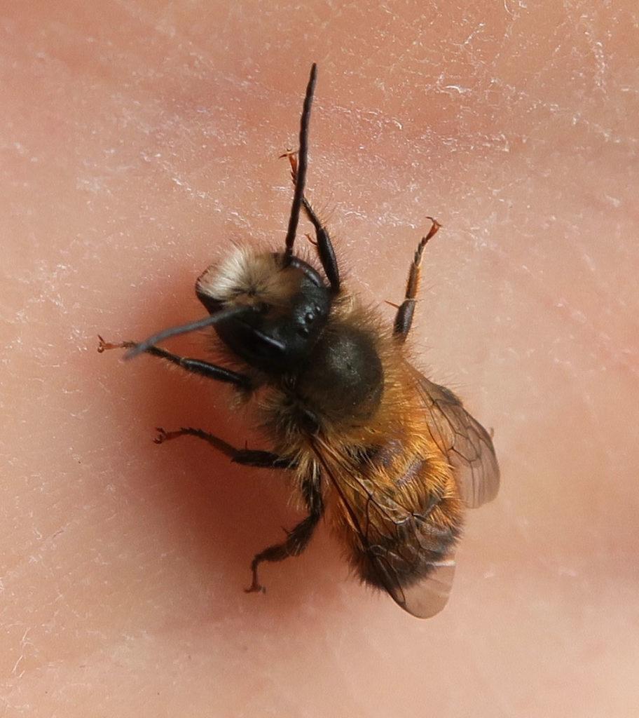 Großaufnahme einer Biene mit langen Fühlern