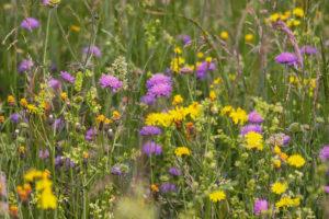 Blühende Wildblumenwiese - so könnte auch Ihre Wiese aussehen